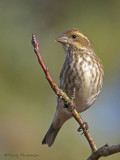 Purple Finch female or juvenile male 9b.jpg