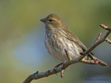 Purple Finch female or juvenile male 10b.jpg
