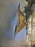 Red-breasted Nuthatch 21c.jpg