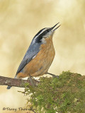 Red-breasted Nuthatch 24c.jpg