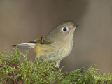 Ruby-crowned Kinglet 7b.jpg