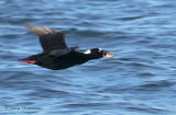 Surf Scoter in flight 3b.jpg