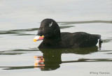 White-winged Scoter 26b.jpg