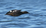 White-winged Scoter female in flight 1b.jpg