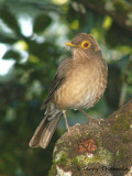 Bare-eyed Thrush 2b.jpg
