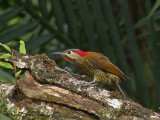 Golden-olive Woodpecker 31a.JPG