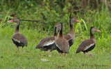 Black-bellied Whistling Duck 1b.jpg