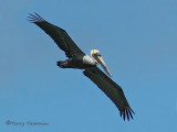 Brown Pelican 2b.jpg