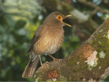 Bare-eyed Thrush.JPG