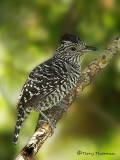 Barred Antshrike.JPG