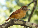 Barred Antshrike female.JPG