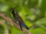 Copper-rumped Hummingbird.JPG