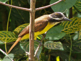 Great Kiskadee.JPG