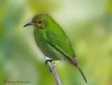 Green Honeycreeper female.JPG