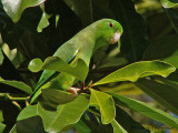 Green-rumped Parrotlet.JPG