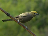 Palm Tanager 1.JPG