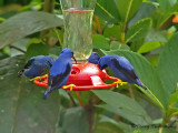 Purple Honeycreepers 1.JPG