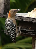 Red-crowned Woodpecker 1.JPG