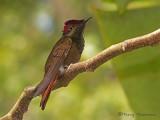 Ruby Topaz Hummingbird 1.JPG