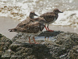 Ruddy Turnstones 1.JPG