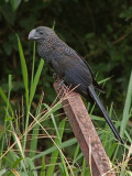 Smooth-billed Ani 2.JPG
