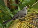 Tropical Mockingbird 1.JPG