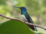 White-necked Jacobin 1.JPG