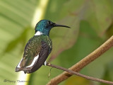 White-necked Jacobin 3.JPG