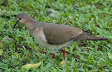 White-tipped Dove 1.JPG