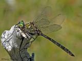 Somatochlora albicincta - Ringed Emerald 5.jpg