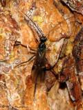 Coeloides dendroctoni - Braconid wasp parasite on Mountain Pine Beetle 1.jpg