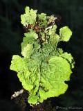 Lobaria pulmonaria - Lung Lichen 1a.jpg