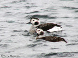 Long-tailed Ducks - females 1a.jpg