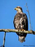 Bald Eagle 3rd year bird 1a.jpg