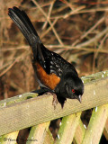 Spotted Towhee 7a.jpg