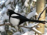 Black-billed Magpie 15a.jpg