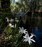 Lilies Along the Bank