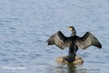 Cormorano, Great cormorant