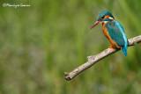 Martin pescatore , Kingfisher