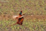Fagiano , Ring-necked pheasant