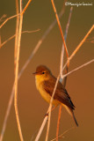 Canapino,Melodious warbler