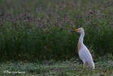 Airone guardabuoi , Cattle egret