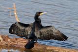 Cormorano , Great cormorant