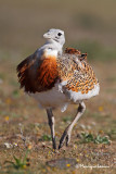 Otarda, Great bustard, Avutarda