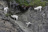 Goats by the side of the road of Turnagain Arm