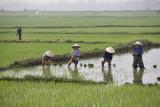 Rice fields around My Son