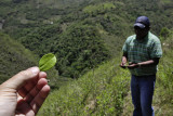 Coroico, coca plantation