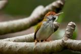 Warblers & Tailorbirds
