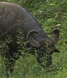 8352 water buffaloa