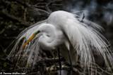 6197 Egret Nesting in Florida